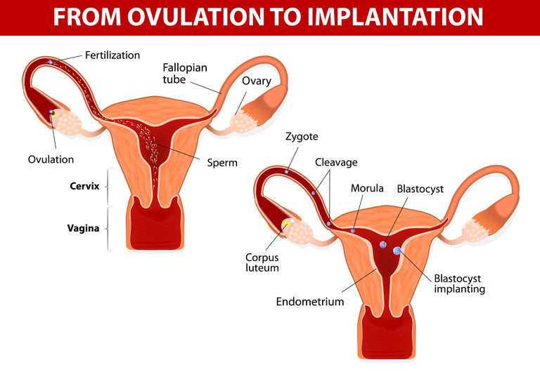Illustration of the female repructive system, including the corpus luteum