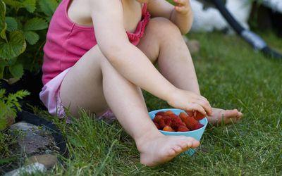 Little Girl Picking Strawberries in the Summer