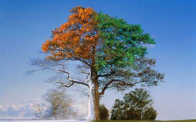 Oak trees through the four seasons (Digital Composite)