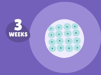 Pregnancy Week by Week: Week 3