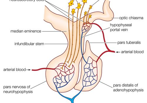 The mammalian pituitary gland, showing the anterior lobe (adenohypophysis) and posterior lobe