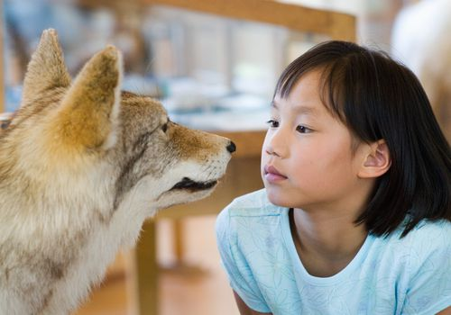 Girl (7-9) looking closely at stuffed coyote (Canis latrans) in museum