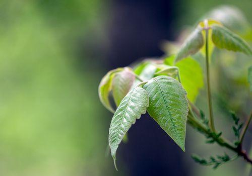 poison ivy close-up