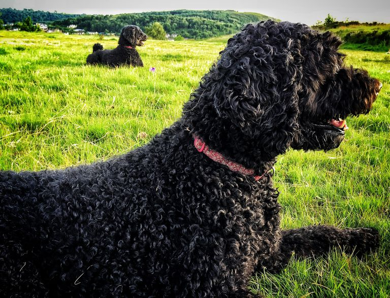 Side View Of Portuguese Water Dogs On Grass Area