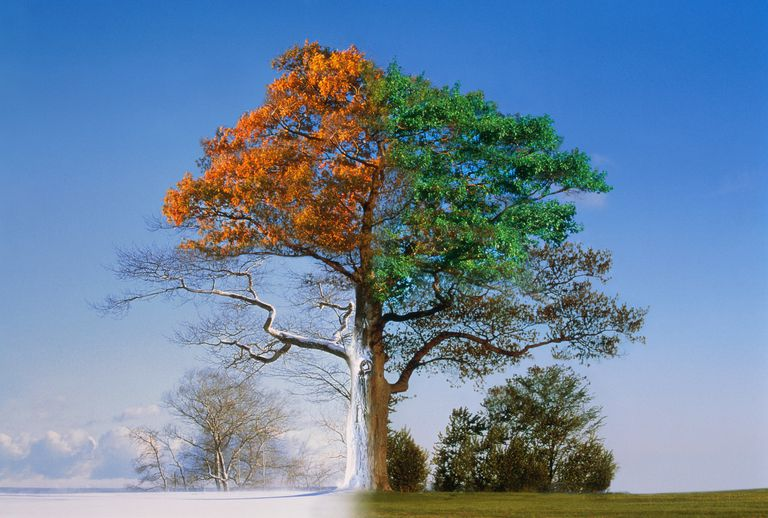 Oak trees through the four seasons (Digital Composite)