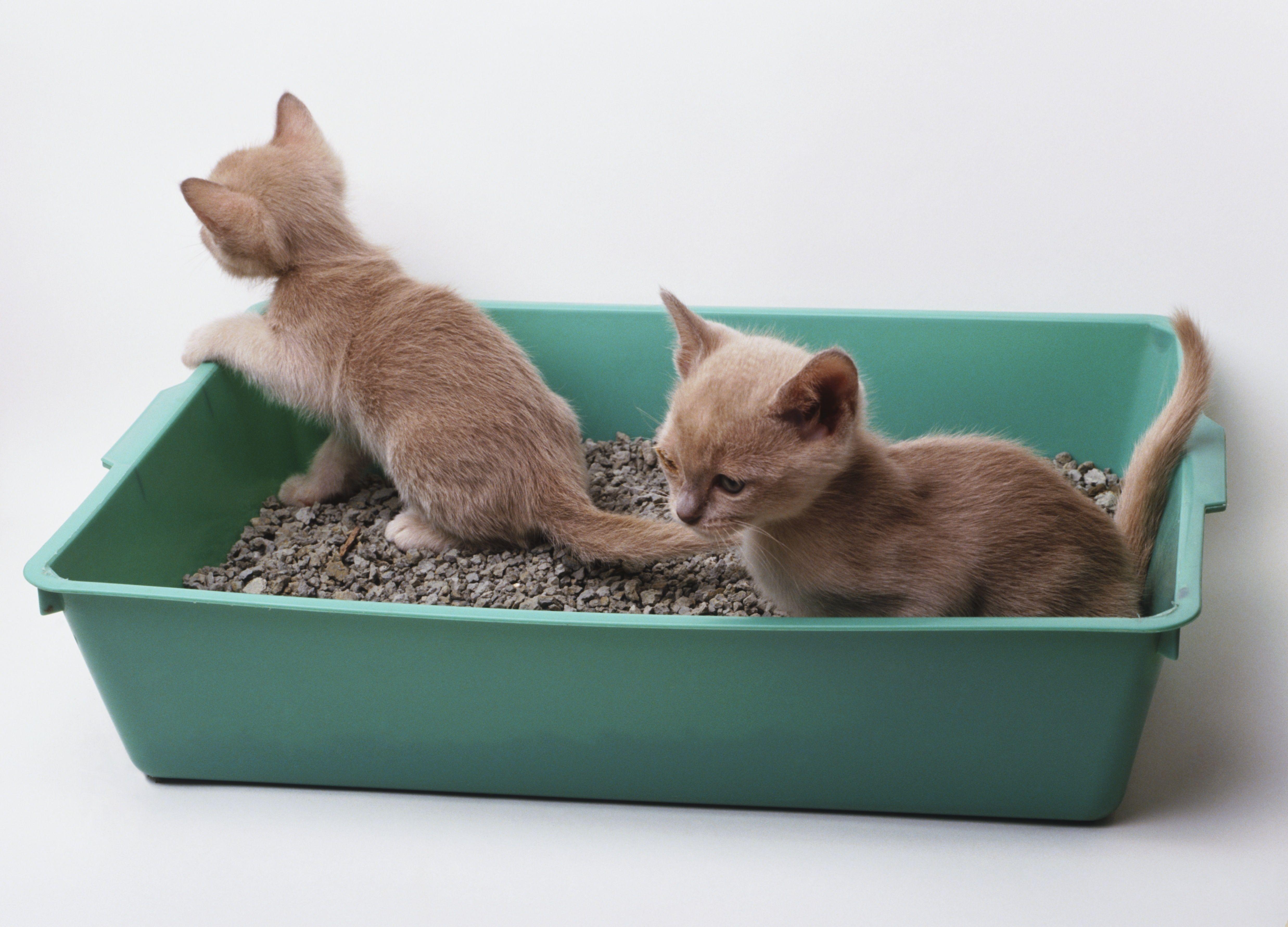 Two greyish-brown kittens (Felis silvestris catus) in green plastic litter tray