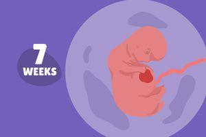 Pregnancy Week by Week: Week 7