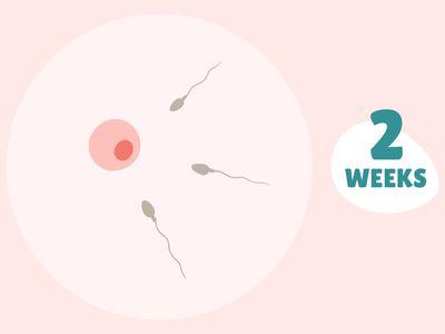 Pregnancy Week by Week: Week 2