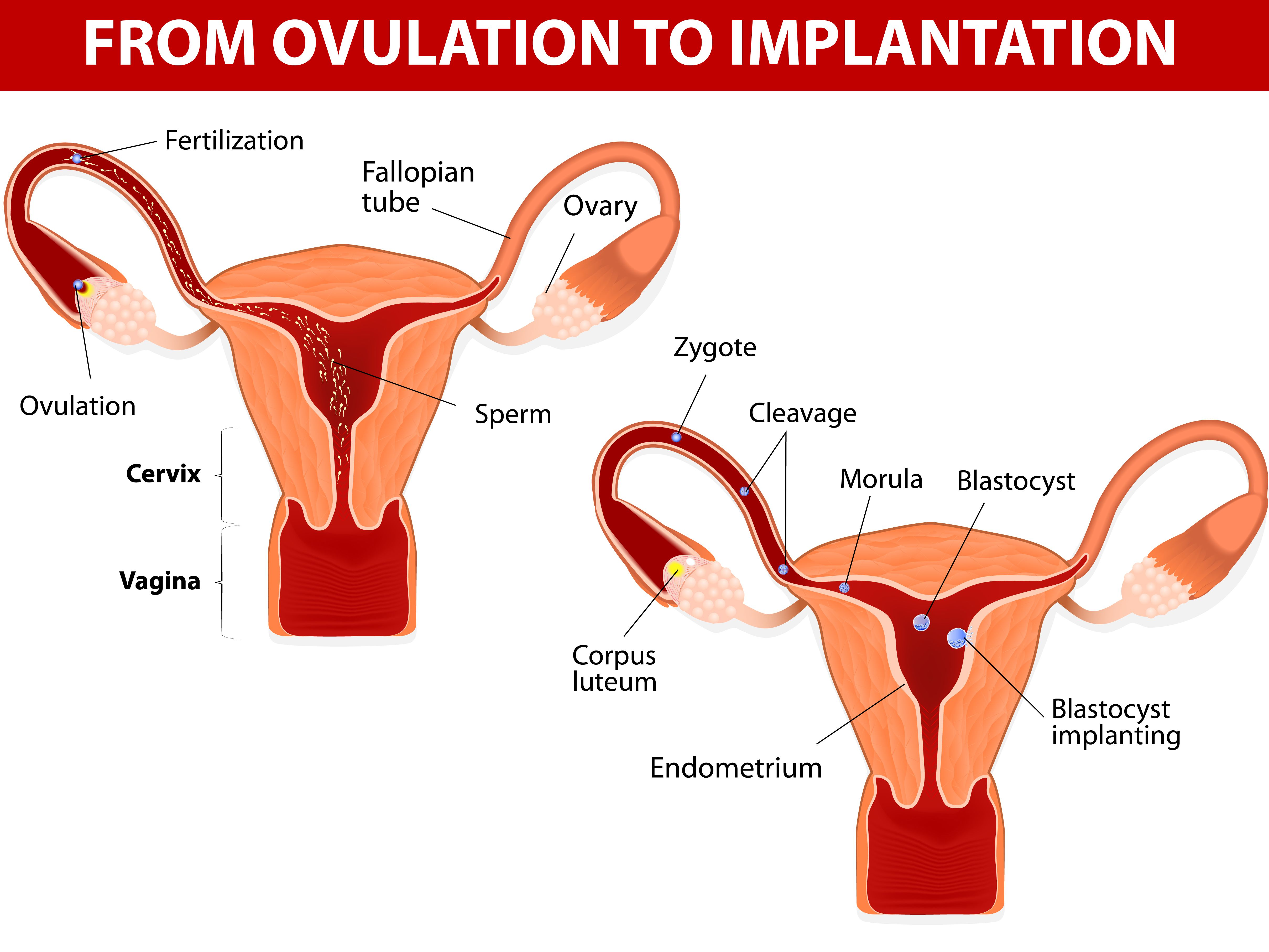 Overview of the Corpus Luteum