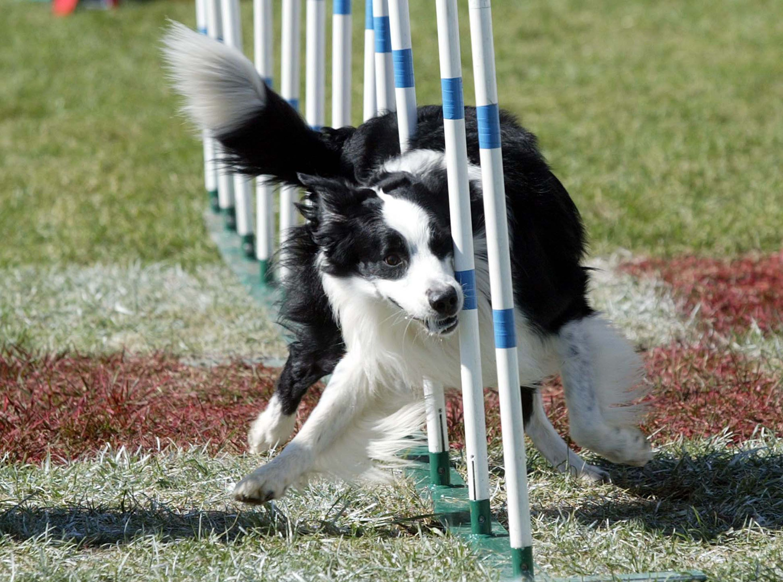 Dog going through agility course