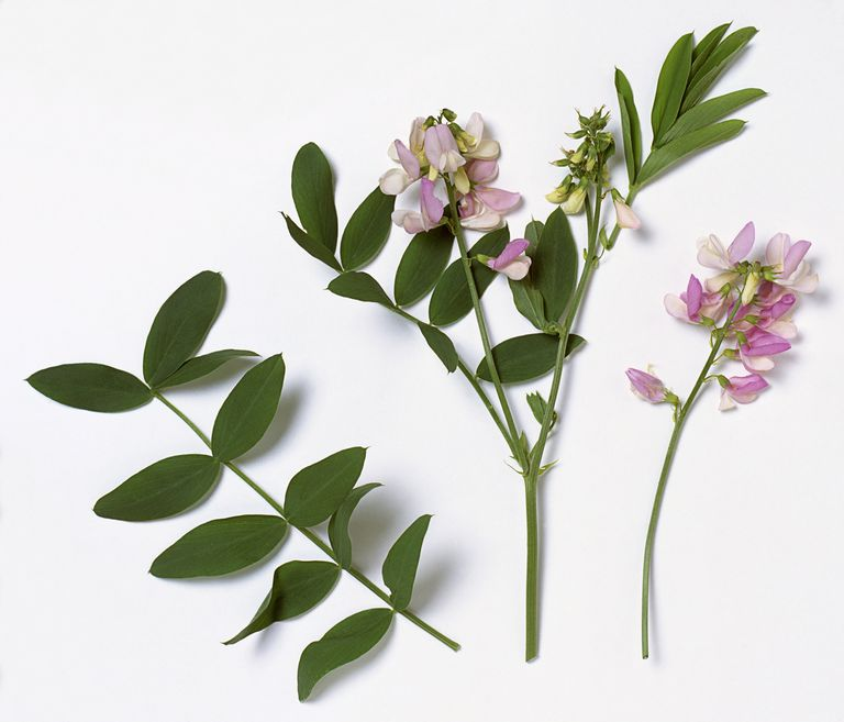 Galega officinalis (Goat's rue), stems with leaves and purple-pink flowers.