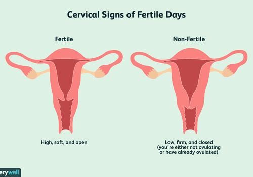 Cervical signs of fertile days