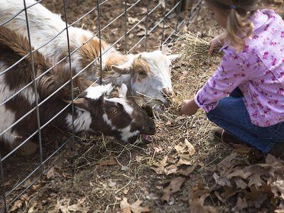 Young girl feeding goats underneath fence