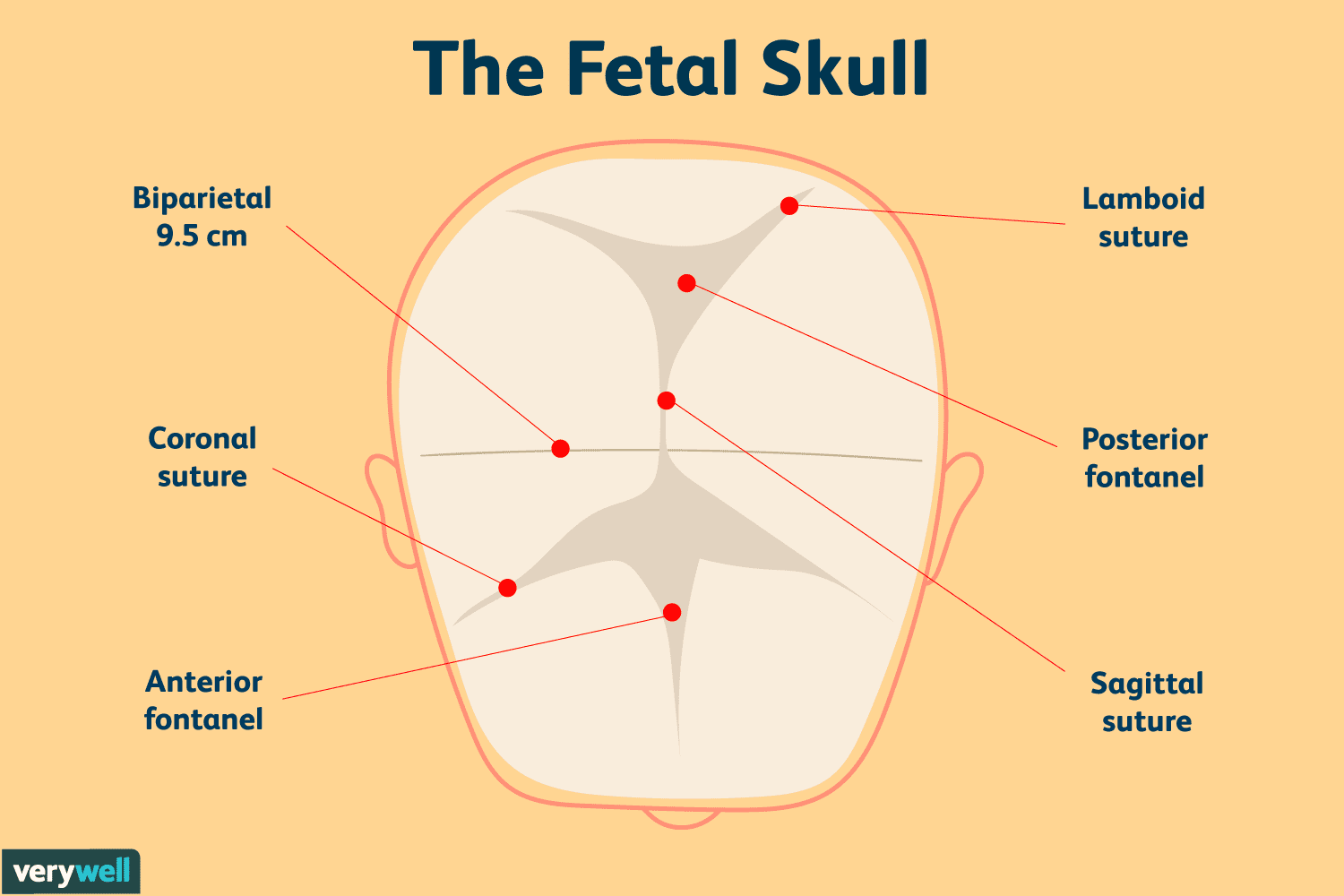 parts of the fetal skull